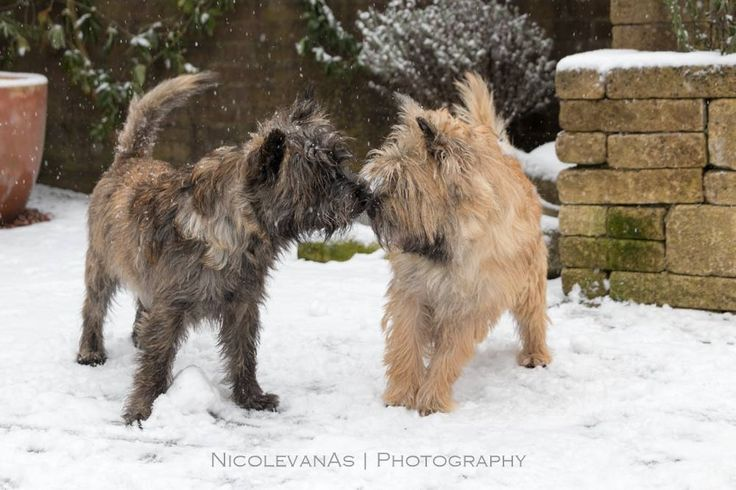 Pin by Carol Spencer on Cairns | Cairn terrier, Norwich ...
