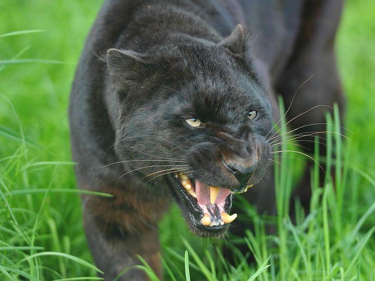 SOUND: http://www.ruspeach.com/en/news/10942/     Пантеры - это дикие хищные черные кошки, однако их малыши могут рождаться пятнистыми. Пантера обитает в тропиках. Много пантер на острове Ява. Это животные-одиночки. Максимальная скорость пантеры составляет около 60 км/ч. Максимальная в�