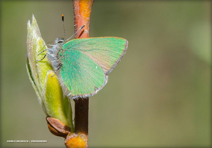 a very tiny green butterfly with a very tiny tongue by Maurizio Di Renzo on 500px