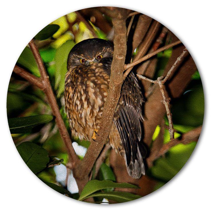 MOREPORK - Ruru, the quiet observer hearing wisdom - Ian Anderson Fine Art http://ianandersonfineart.com/portfolio-1/