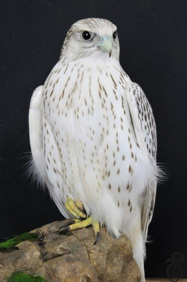Rare White Falcons You Have Never Seen Before