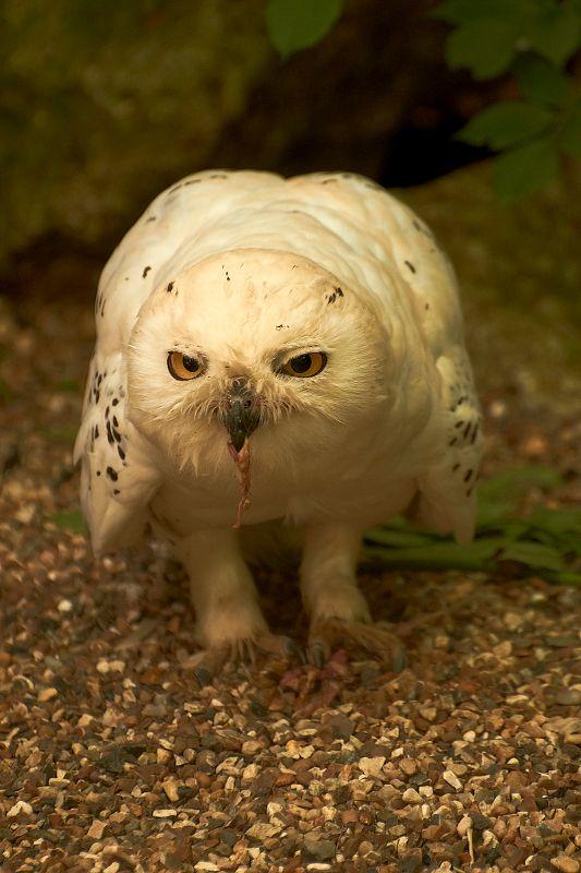 Le Harfang des neiges (Snowy owl) est une espèce d'oiseau de la famille des strigidés. Il est aussi appelé ookpik par les Inuits. Il est l'emblème aviaire du Québec. Nom scientifique : Bubo scandiacus. Cf. Wikipédia. Photo. Déjeuner perturbé.  Phto par Quaddie