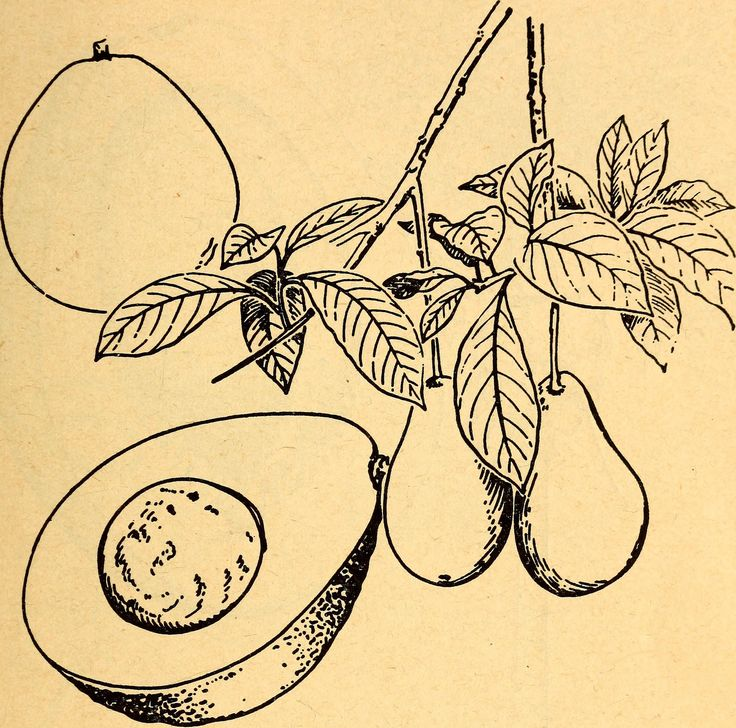 """Drawing of avocado leaves and fruit   Image from page 16 of """"Edible and poisonous plants of the Caribbean region"""" (1944)   Authors: Dahlgren, Bror Eric, 1877-; Standley, Paul Carpenter, 1884-1963; United States. Navy Dept. Bureau of Medicine and Surgery Subjects: Plants, Edible; Poisonous plants; Botany Publisher: Washington, U. S. Govt. print. off"""