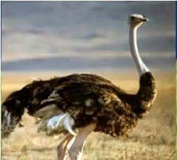 Inilah Jenis 10 Jenis Burung Terbesar Di Dunia Saat Ini | Burung Nusantara