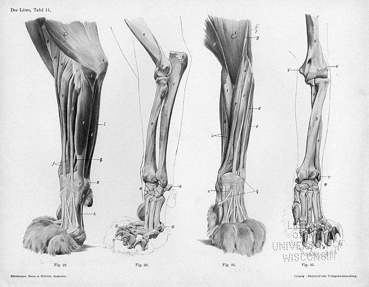 Horse Anatomy By Herman Dittrich Hind Legs: Anatomy Reference (Animal) Bilder