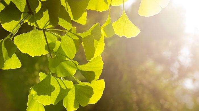 Ginkgo Biloba, or the Miracle Tree, has a long and distinguished history making it a fine addition to the Indigo Herbs catalogue and for those seeking to benefit from its valuable properties. We stock Ginkgo Biloba Leaf Cut Tea, Ginkgo Biloba Powder and G