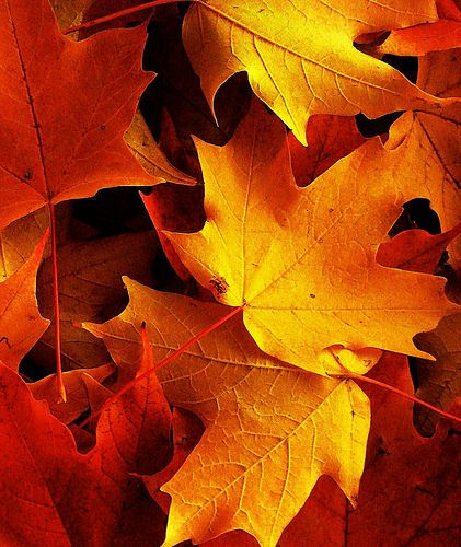 Autumn leaves in macro