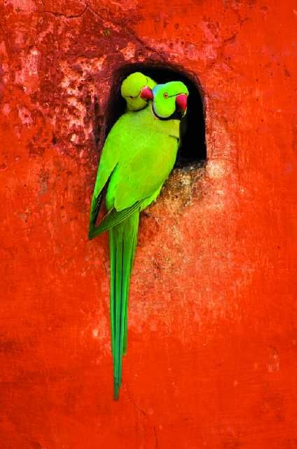 Those colors!Green Nature Animal, Red Wall, Parrots, Beautiful Birds, Colors Birds, Feathers, Green Birds, Colours, Indian Ringneck