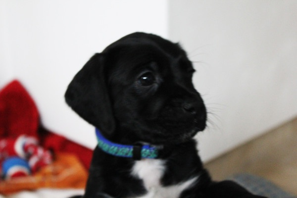 beta the spanador pup pups pinterest news i want