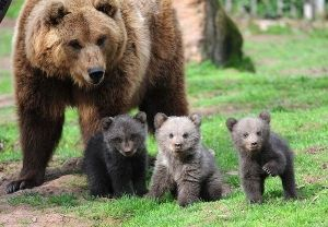 three little bears and their mom