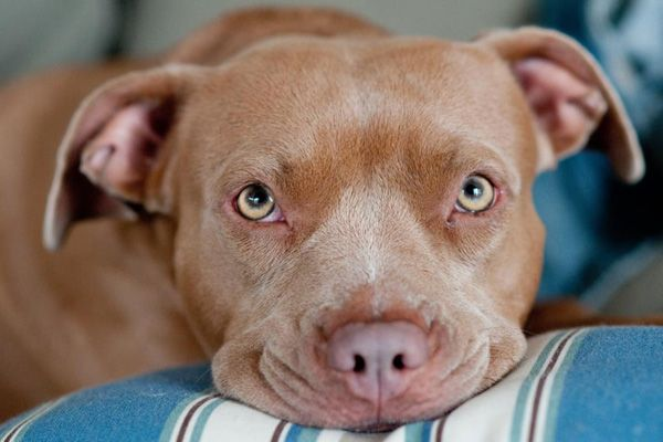 find love in pit bulls Excessive licking might seem like an unusual problem for a breed with a bad reputation for aggression, but most pit bulls are really big softies at heart licking is a normal part of pit bull.