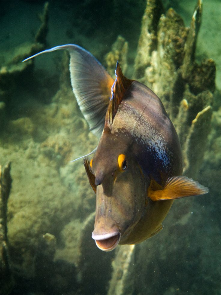 Short-nose doctor fish