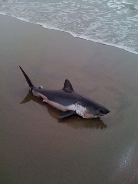 17 best images about porbeagle sharks lamna nasus on for Baby shark fish