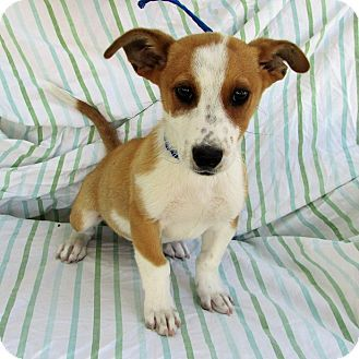 Lomita, CA - Welsh Corgi/Terrier (Unknown Type, Small) Mix. Meet Corgi Terrier Mix Pup, a puppy for adoption. http://www.adoptapet.com/pet/18203749-lomita-california-welsh-corgi-mix