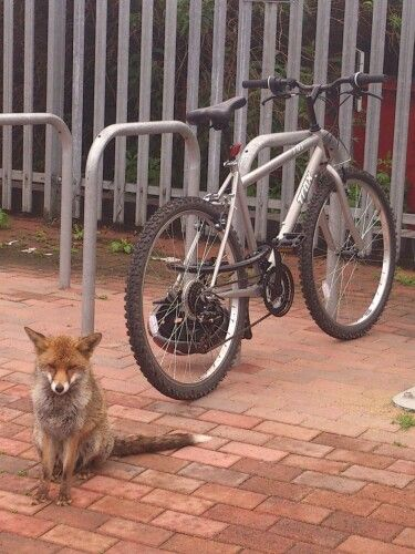 Fox guarding bike at Beckenham MM
