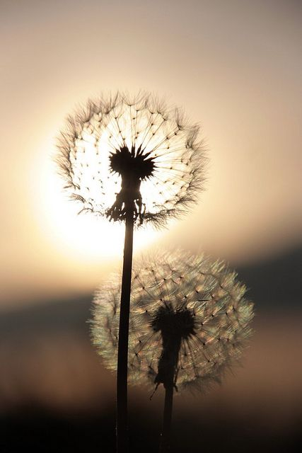 I have an obscure obsession with dandelions.