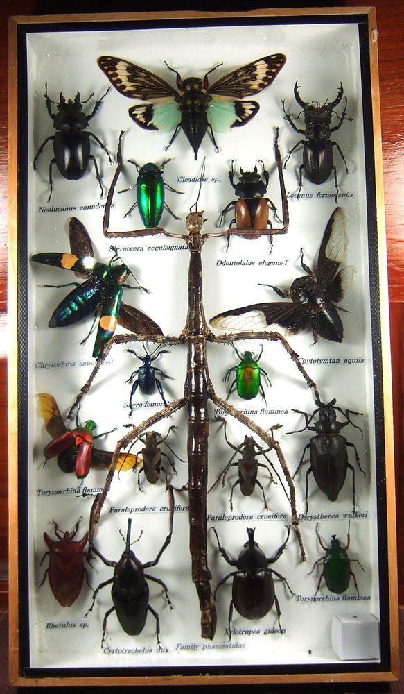 Family Phasmatidae (in red area) is main insect, the around insects (in green area) may not be the same 100% as picture but it will have main insect family phasmatidae. Insect Big Set (Family Phasmatidae). | eBay!