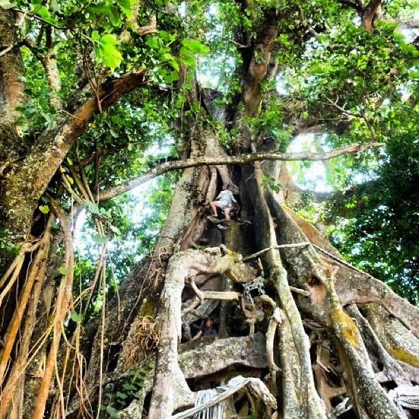 L'arbre banian énorme dans le village de Gesing