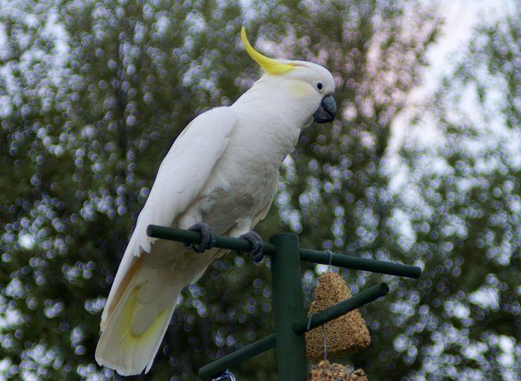 Cocky on the bird feeder