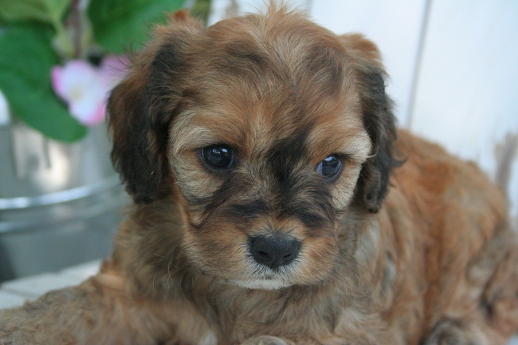 Cavapoo Puppies!! Cavapoos & and other lil cuties