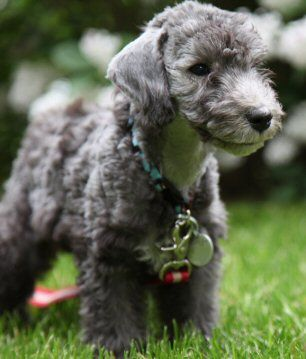 Bedlington Terriers / Rothbury/Rodbery Terrier / Rothbury's Lamb Dog Puppy Dog Puppies Dogs