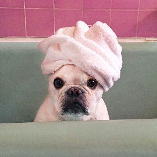 """Wait...what?"" French Bulldog on bath day, @dailydanger"