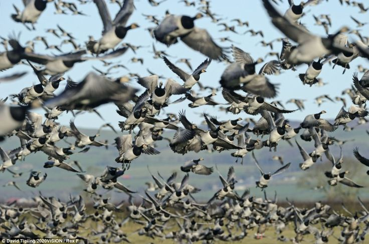 Birds of a feather... A flock of Barnacle geese take off from grazing marshes in Dumfries and Galloway, Scotland