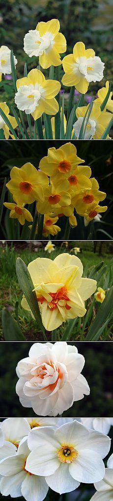 Нарциссы: размножение и выращивание. Сорта нарциссов. В детстве эти цветы ассоциировались у меня с наступлением весны, пасхой.Принадлежит столь благородный цветок семейству амариллисовых, относится к многолетним луковичным растениям. Эти цветы распространены в любительском садоводстве, парфюмерии, из него добывают эфирные масла, о нем сложено множество легенд и сказаний.