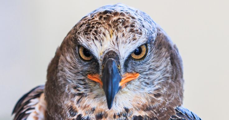 African-Crowned Eagle