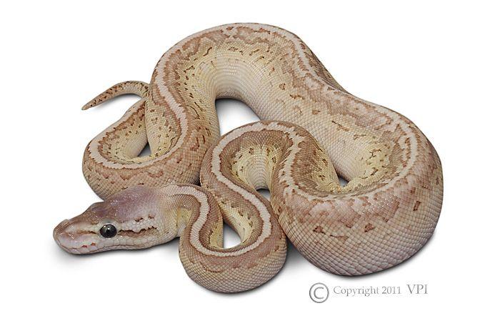 venonous snakes