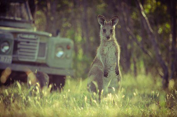 Nieuw in mijn Werk aan de Muur shop: Joey, een jonge kangoeroe in Zuid-Australië