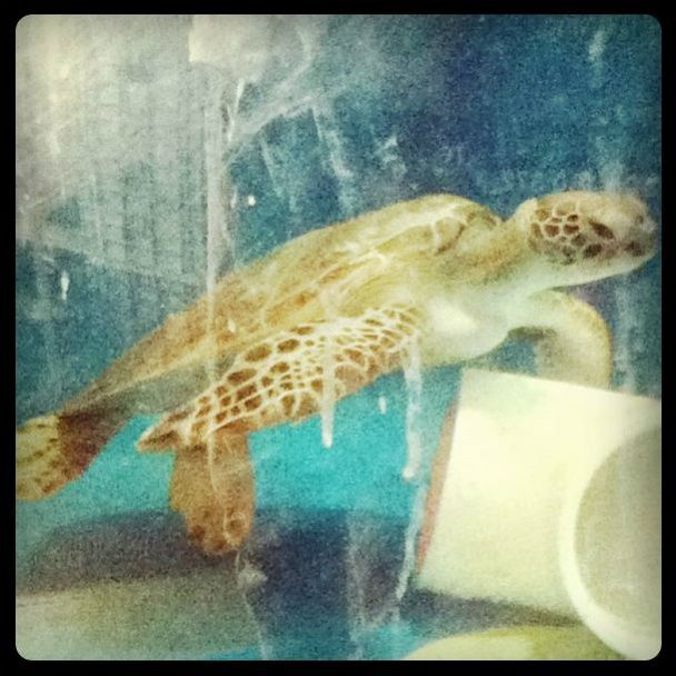 Turtle from Townsville Aquarium QLD