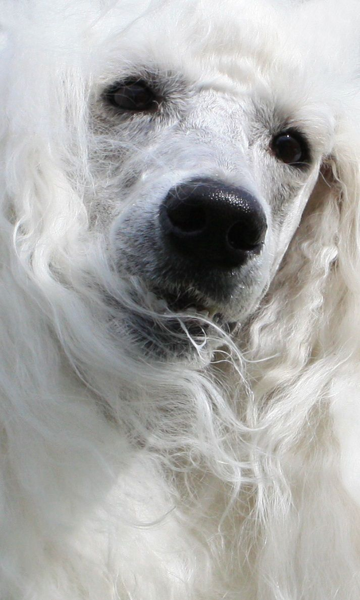 Standard poodle haircuts or of unless soft haircuts standard poodle - Standard Poodle Dog Art Portraits Photographs Information And Just Plain Fun Also See