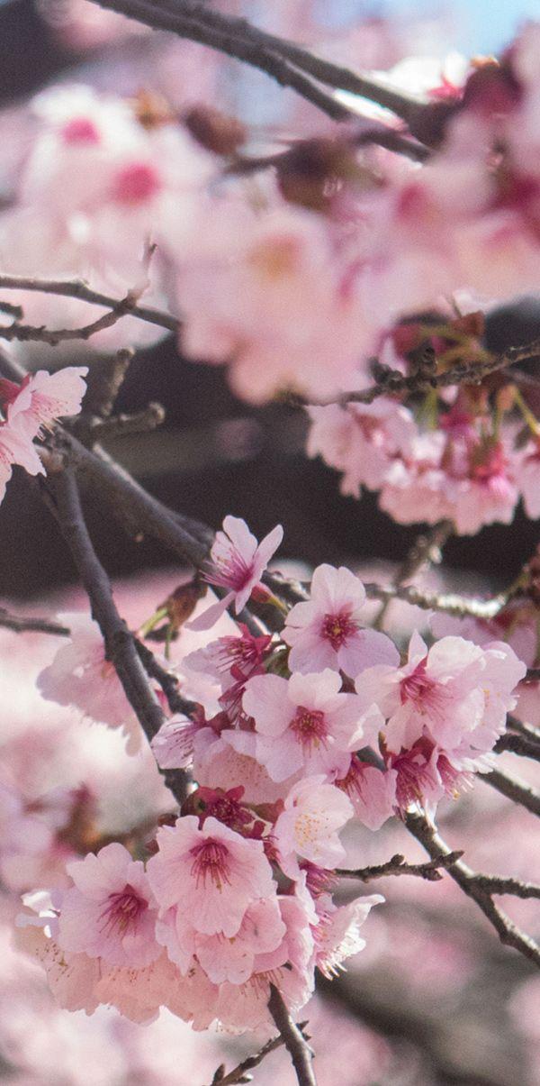 Cherry Blossom Season In Japan When Where To See It Cherry Blossom Wallpaper Sakura Tree Cherry Blossom Season