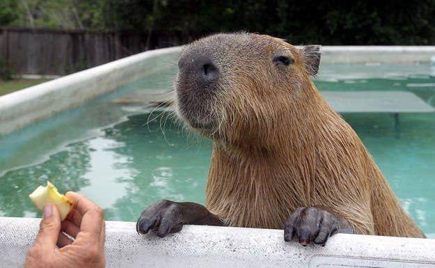 22 Capybaras Bein So Fancy 22 Capybaras Bein So Fancy Amphibians Bein Capybaras Exoticpets Fancy Frenchbulldogs Fr In 2020 Capybara Capybara Pet Mammals