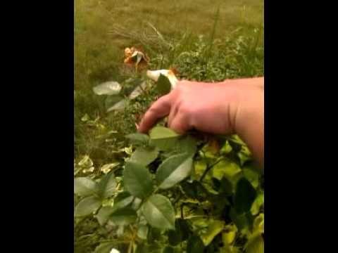 Rozmnażanie róż