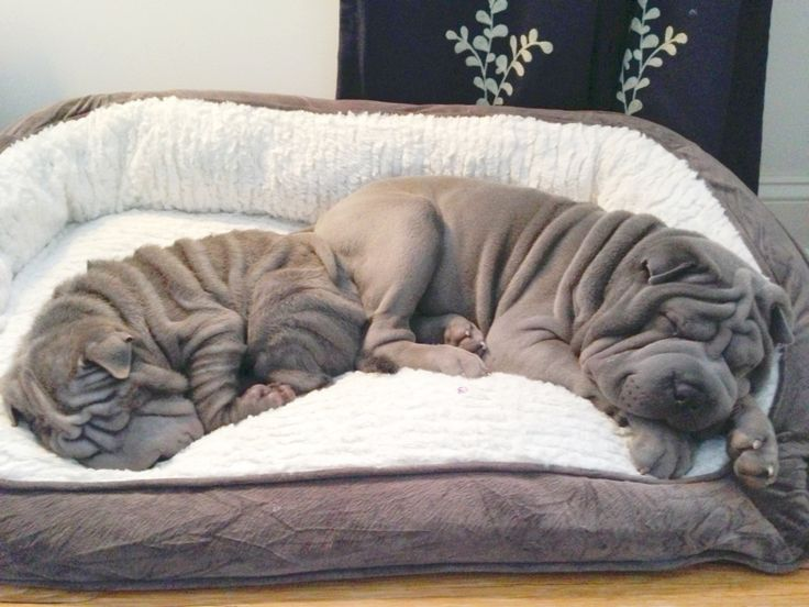 blue shar pei pupies. gunner and perry wrinkle.