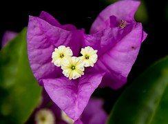 Popínavé Rastliny, Kvetina, Kvet