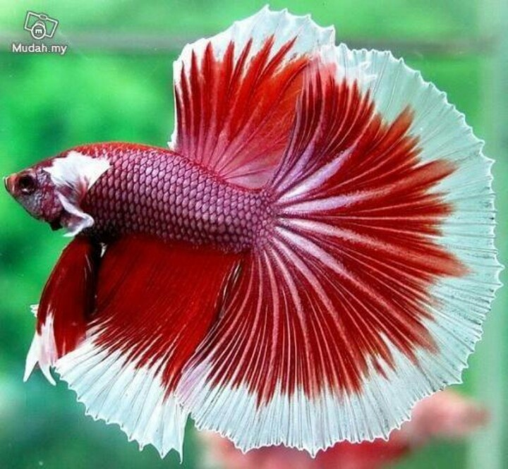 Siamese Fighting Fish - Red/White Butterfly Half Moon Tail ...