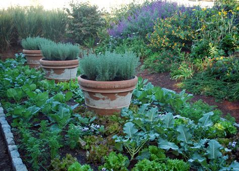 veggie garden with added structure of potted lavender?