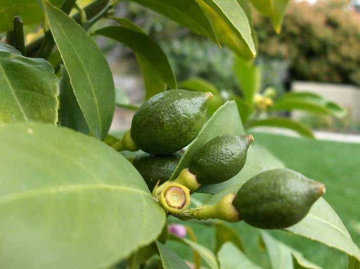 Caída de frutos del limón, ¿a qué se debe?   Plantas