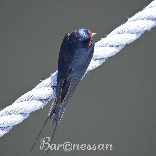 Ladusvala från ovan #svala #nature #birds #fåglar