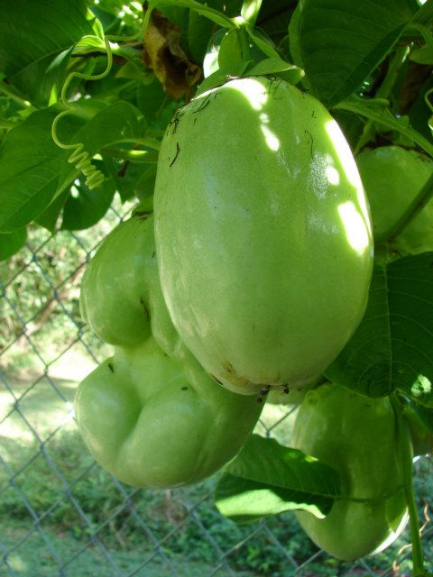 Barbadine- This fruit grows on vines and we use it to make drinks and ice cream- You'd love it