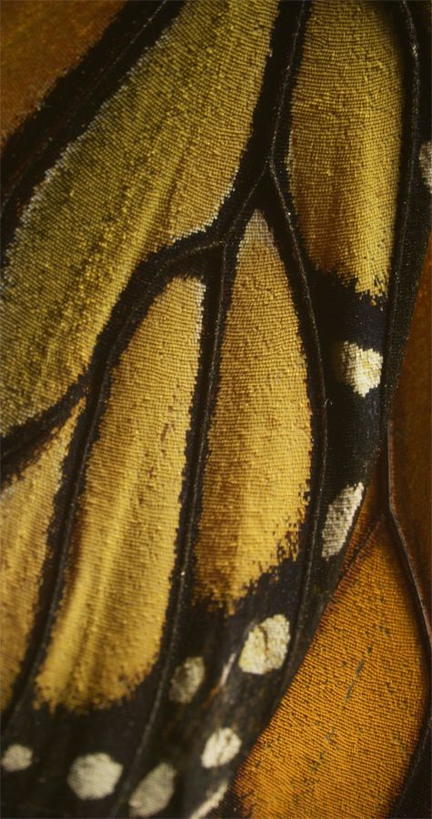 Macro shot of a Monarch butterfly wing   © Flight of the Butterfly in 3D