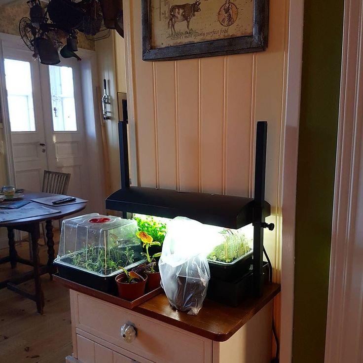 Här står den lilla odlingsstationen och lyser upp ett mörkt hörn av köket. Där jag drar upp frösådder av olika slag som sallad ruccola och chili tex. Ljuset räcker också till några sticklingar som står intill. #förodla #frösådd #odling #odlagrönt #odlaiköket #odlainne #indoorgardening #salladsodling #wexthuset #växtbelysning #odlingsstation