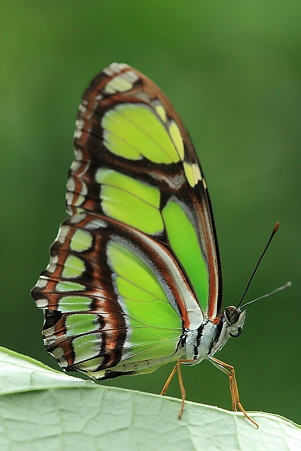 The Malachite (Siproeta stelenes) is a neotropical; Nymphalidae family. Has large black and brilliant green wings or yellow-green on the uppersides and light brown and olive green on the undersides
