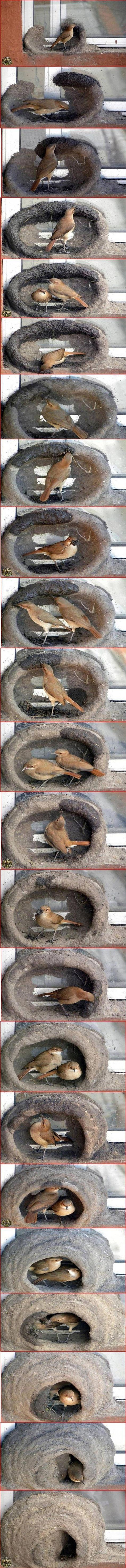 hornero-bird-building-nest ~ these birds go get dirt, muddy it with their saliva and that's how the nest is made.