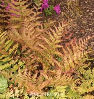 Brilliance Autumn Fern  Dryopteris erythrosora 'Brilliance'  Full to partial shade  Water Needs:Needs wet or constantly moist soil.  Average landscape size:Grows to 1 1/2 to 2 ft. tall and 18 in. wide.