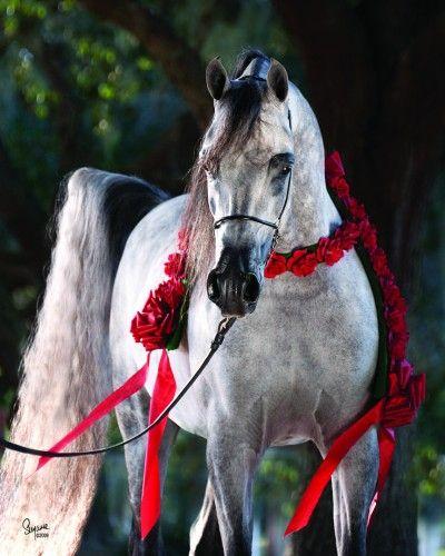 Arabhorse.com - Arabian Horse - KM Bugatti