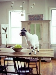 goat on a table